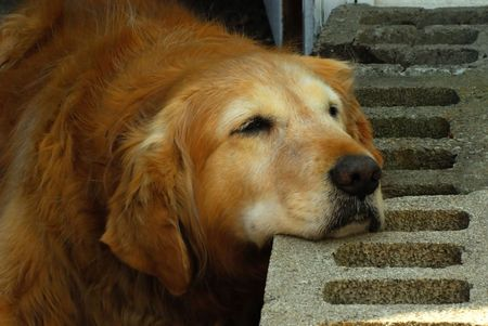 A Tired Old Dog Rests Her Head on some Cement Blocks