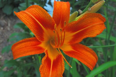 close-up of a blooming orange daylily flower
