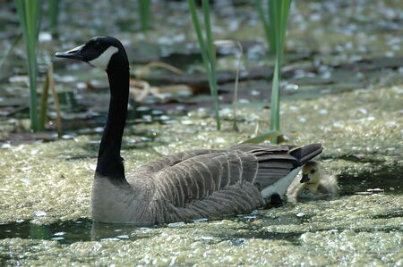 A Canada Goose Parent Protects Its` Gosling Under Its` Tail
