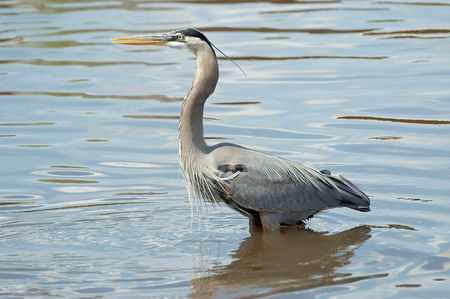 great blue heron: Great Blue Heron Stock Photo