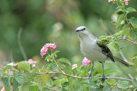 catbird: Gray Catbird,Kissimmee,Florida