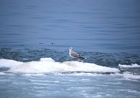 billed: Ring Billed Gull On Ice Stock Photo