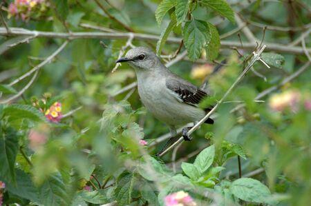 catbird: Gray Catbird Stock Photo