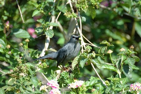Gray Catbird Stock fotó