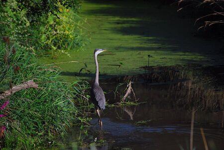 Great Blue Heron Фото со стока