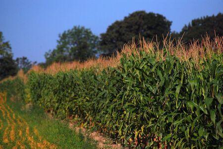 acres: Farm Scene Showing Acres of Corn Stock Photo