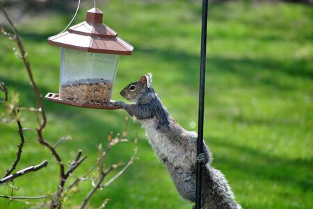 Gray Squirrel Attempts to Steal Seeds From a Bird Feeder Reklamní fotografie - 9367720