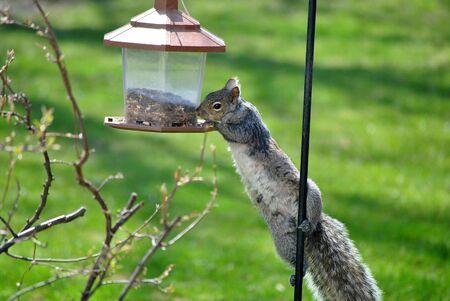 조류 피더에서 회색 다람쥐가 씨앗을 훔치려 고합니다. 스톡 콘텐츠