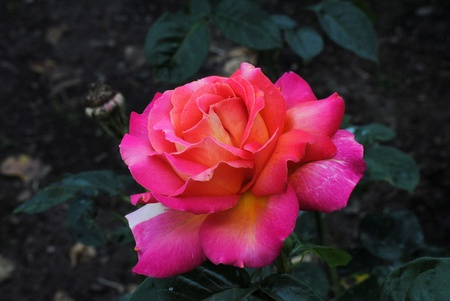 Pink Hybrid Tea Rose Called Chicago Peace Stock Photo - 9874211