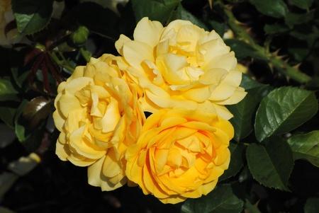 Yellow Floribunda Rose Called Julia Child Reklamní fotografie