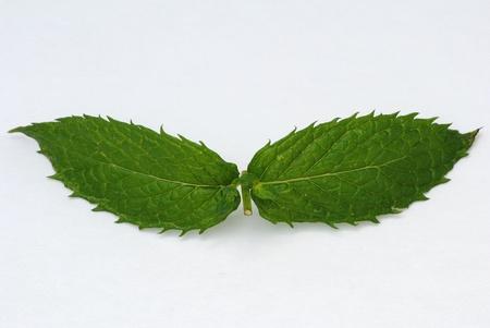 ペパーミントの葉 写真素材