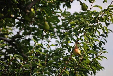 Ripe Pears Stock Photo - 10330827