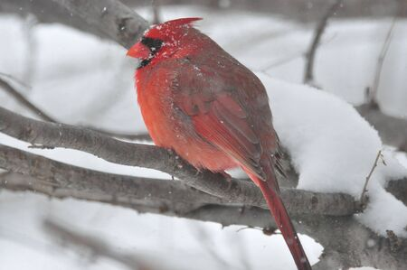 Northern Cardinal,Male,in Snow Storm Stock Photo - 12739610