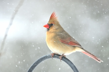 Northern Cardinal,Female,in Snow Storm Stock Photo - 12739631