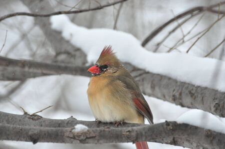 Northern Cardinal,Female,in Winter photo