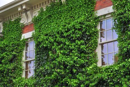 ivy wall: Ivy Covered Brick Wall