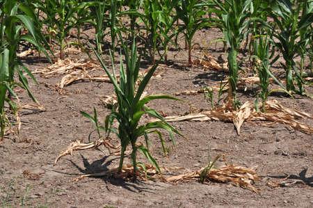 Drought Stricken Corn Field