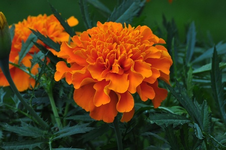 Blooming Orange Marigold Flower 版權商用圖片