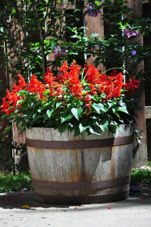 Container of Red Salvia Flowers