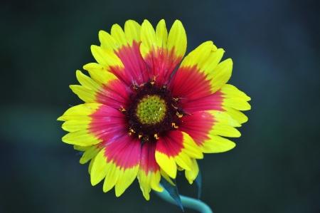 Blooming Torchlight,Blanket Flower Reklamní fotografie