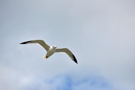 Ring Billed Gull Flies Overhead