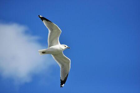 billed: Ring Billed Gull Flies Overhead