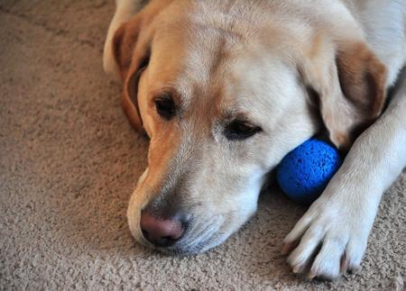 Yellow Labrador Retriever and a Rubber Ball Reklamní fotografie
