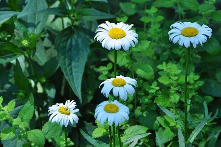 White Daisies Reklamní fotografie