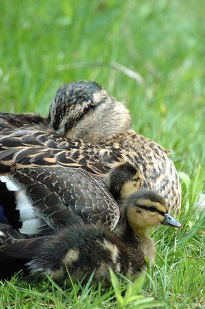 Family of Mallard Ducks Reklamní fotografie