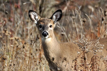 White Tailed Deer in Autumn