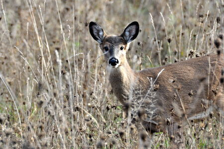 white tailed deer: White Tailed Deer in Autumn