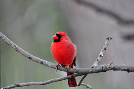 Bright Red Northern Cardinal