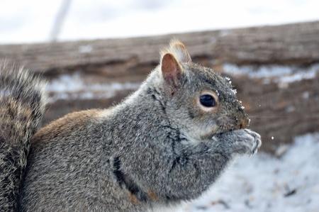 회색 다람쥐