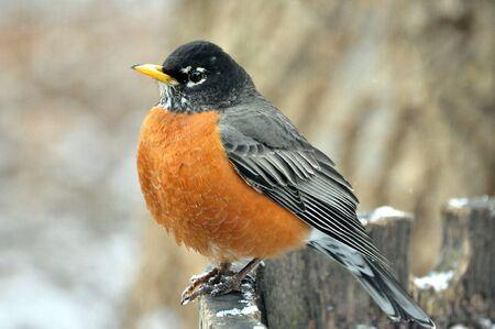 robin: American Robin