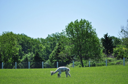 Alpaca Grazes 목장에서