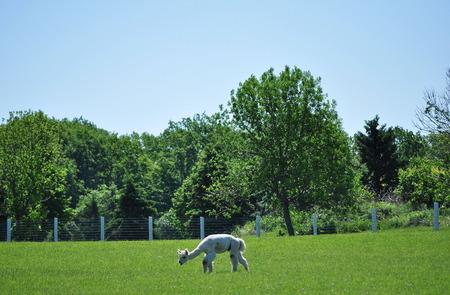 Alpaca Grazes in a Pasture Stock Photo