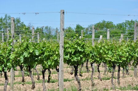 Winery Vineyard
