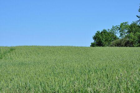 oat plant: Field of Grain