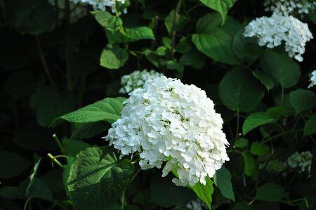 흰색 수국 꽃