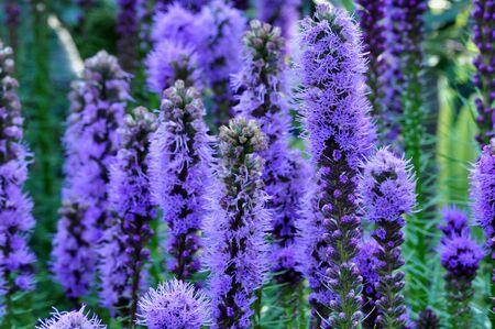 Purple Gayfeather Flowers Stock Photo