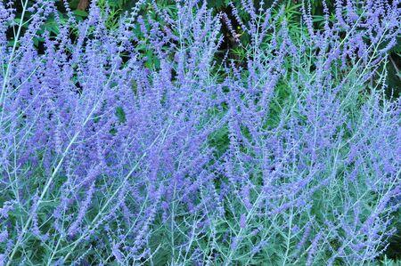 Russian Sage Flowers