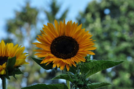 Blooming Yellow Sunflower