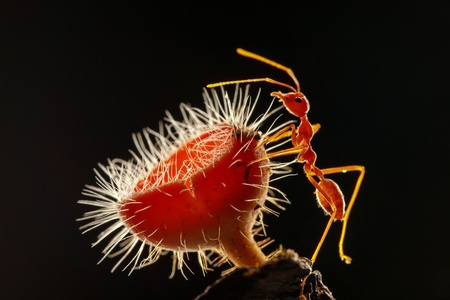 merah: Ant