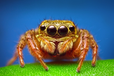 spider: Jumping Spider Stock Photo