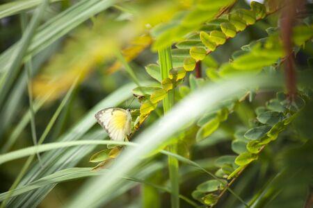brassicae: Butterfly kapustnica in the grass, day