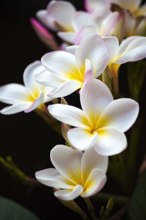 Flower branch of white plumeria, several white-yellow flowers and pink blosssoms, colorful Stock Photo