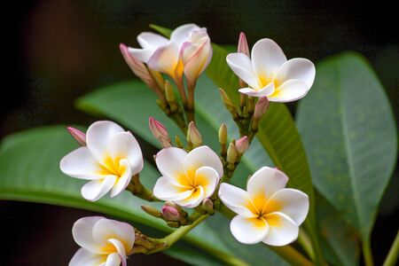Flower branch of white plumeria with green leaves, several white-yellow flowers and pink blosssoms, colorful, dark background Stock Photo