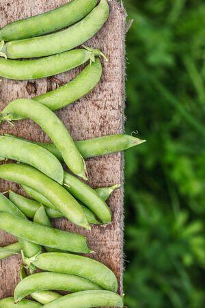 fresh harvest of green peas Stock Photo
