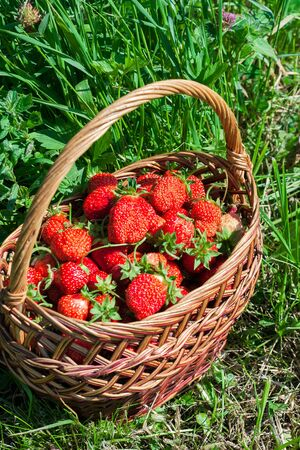 fresh strawberries in a wicker basket. harvest