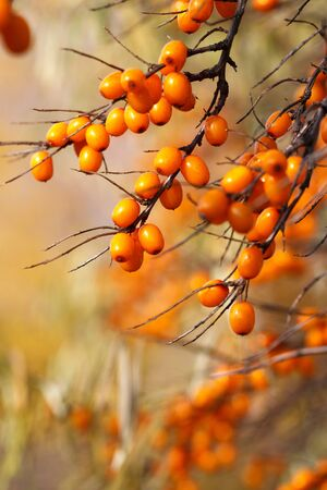 Branch with sea buckthorn berries and yellowing leaves on a background of yellow trees. vertical